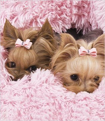 Cuddle bugs - Yorkies w/ Susan Lanci bows #JulepColorChallenge #CreateYourJulepColor. @Rose Ceballos looks like Coco & Louis!