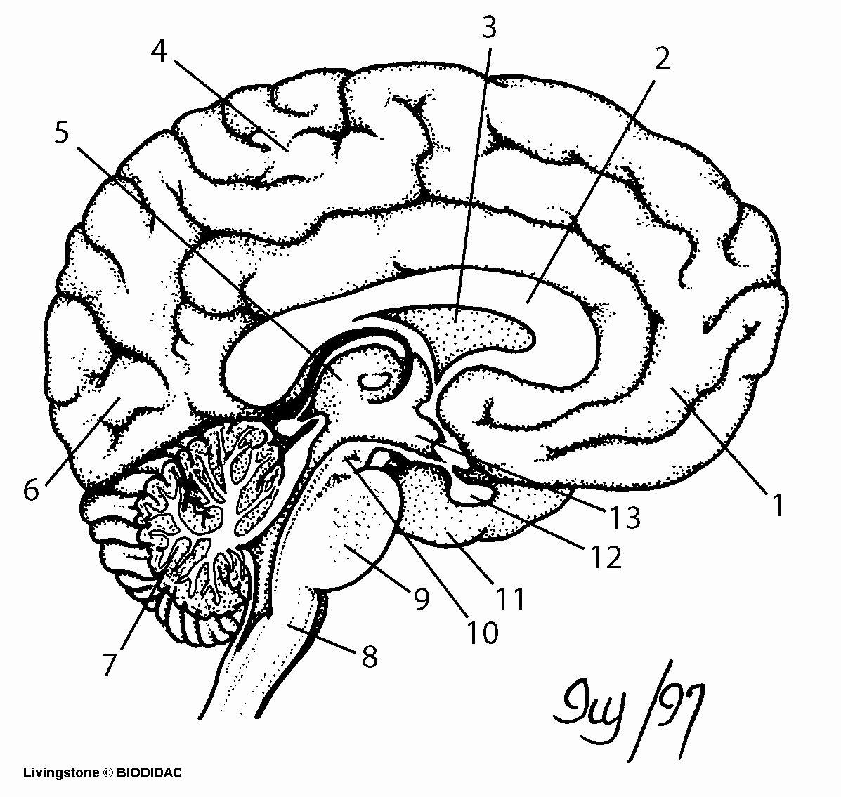 Human Brain Coloring Book Beautiful Human Brain Outline