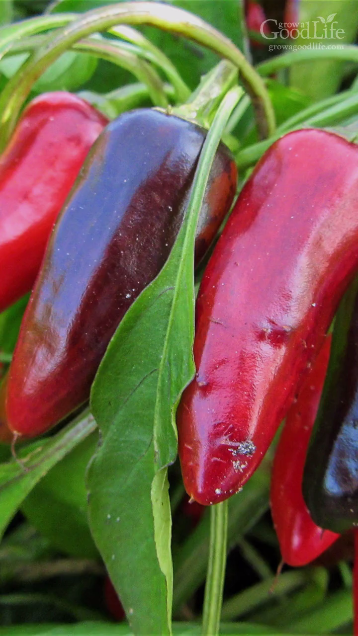 10 Tips to Growing Peppers in Colder Climates is part of Growing peppers, Stuffed peppers, Outdoor herb garden, Planting vegetables, Growing seeds, Herb garden pallet - Growing peppers is possible even if you are in cooler climates  Select varieties that mature early and adapted to cold climates so they ripen before frost