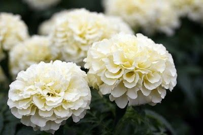 White marigolds i grew these a few years ago and need them again flowers white marigolds mightylinksfo