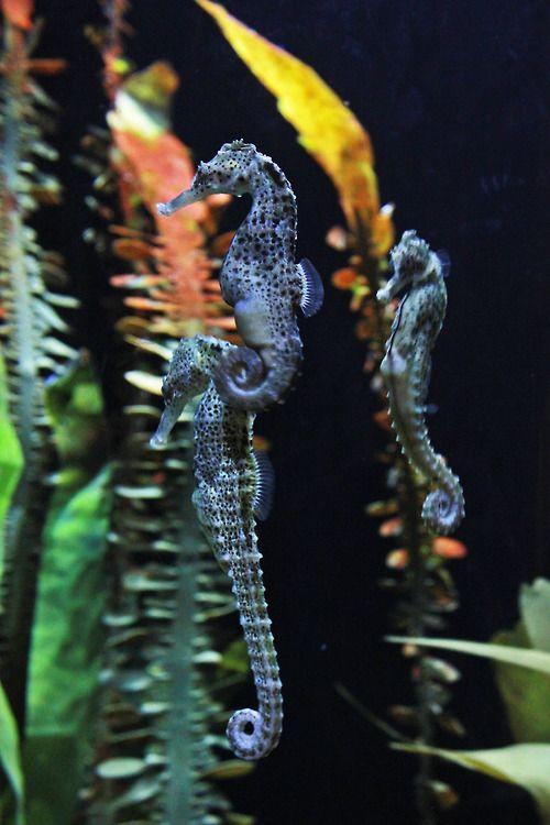 Seahorses Sea Animals Sea Dragon Ocean Animals