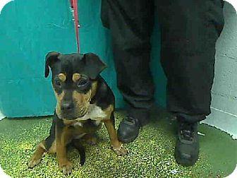 CALI>>>>GA....Atlanta, GA - Rottweiler Mix. Meet CALI a Dog for Adoption.