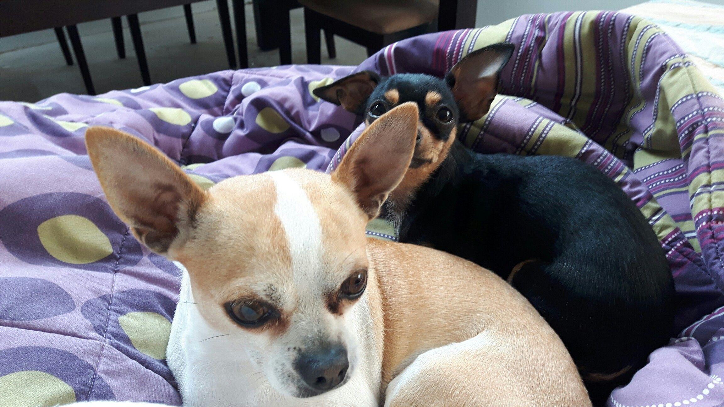 Elvis y nina chihuahua Chihuahua, Boston terrier, Dogs