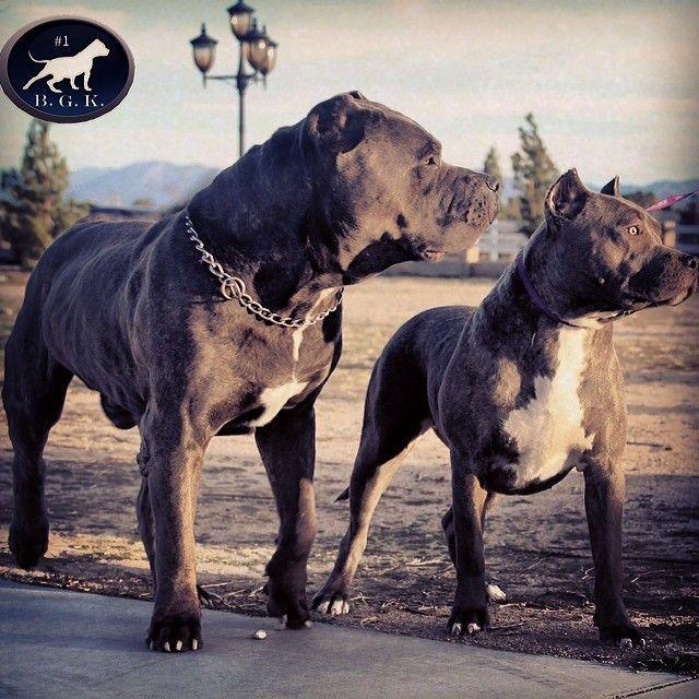 Cane Corso And Pitbull Hunde Grosse Hunde Tiere