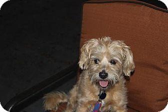 Pet Not Found Cairn Terrier Mix Dog Adoption Terrier Mix