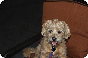 Tampa Fl Cairn Terrier Mix Meet Yoko A Dog For Adoption