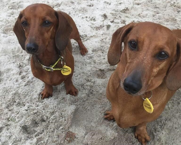 Adopt A Dog Buster Dachshund Std Smooth Hr Dogs Trust Dogs