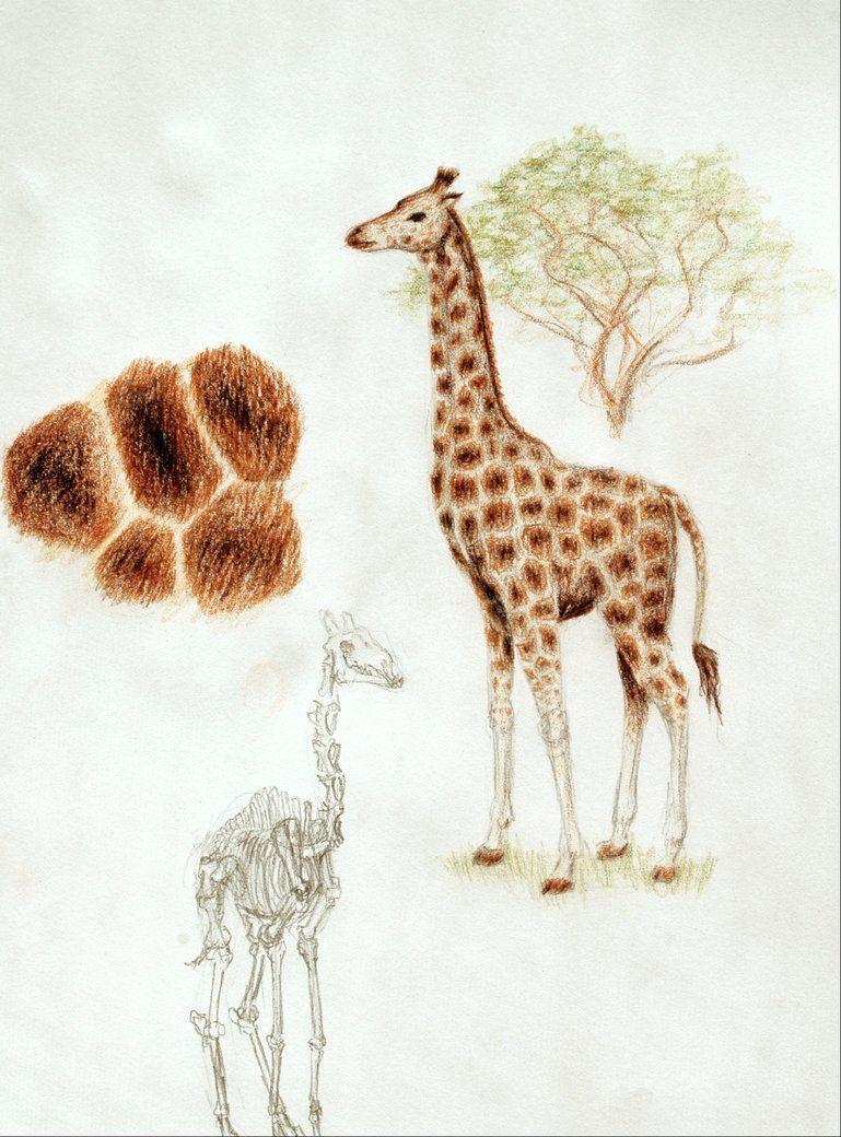 Giraffe Color Pencil Drawing Google Search Giraffes