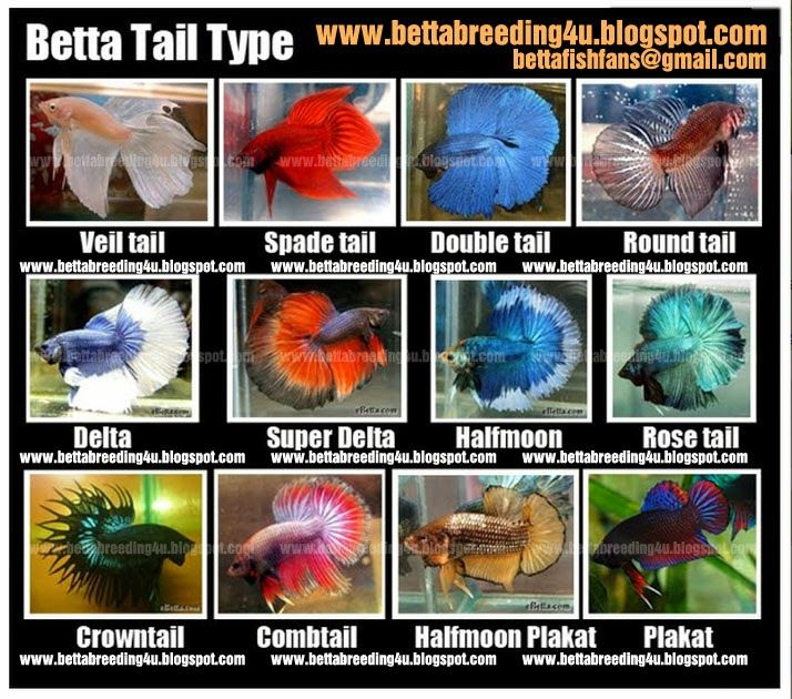 All about betta fish types of betta fish akvarium for What type of water do betta fish need