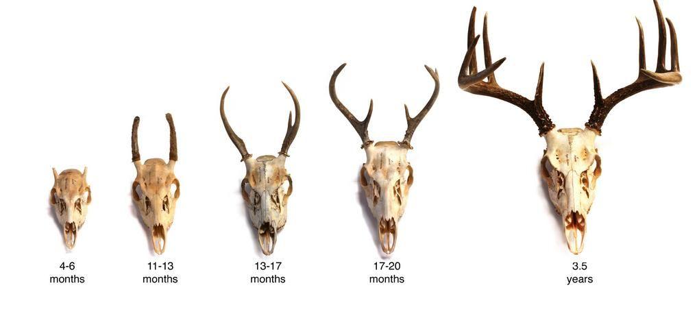 Antlers Deer By Age