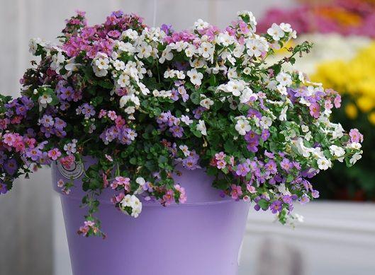 Bialo Rozowe Kompozycja Balkonowa Szukaj W Google Hanging Baskets Plants Hanging