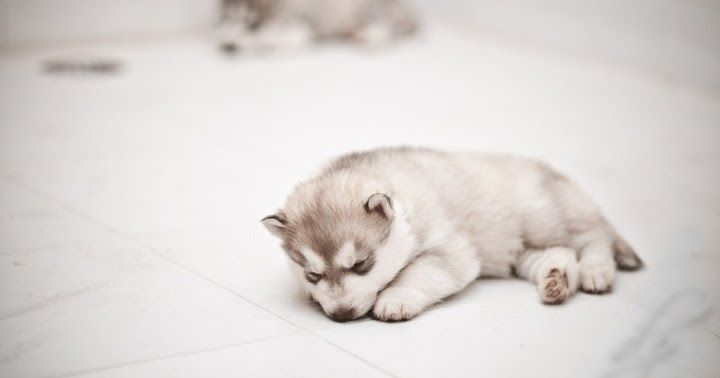 How much does a Siberian Husky Puppy Cost? Husky puppy