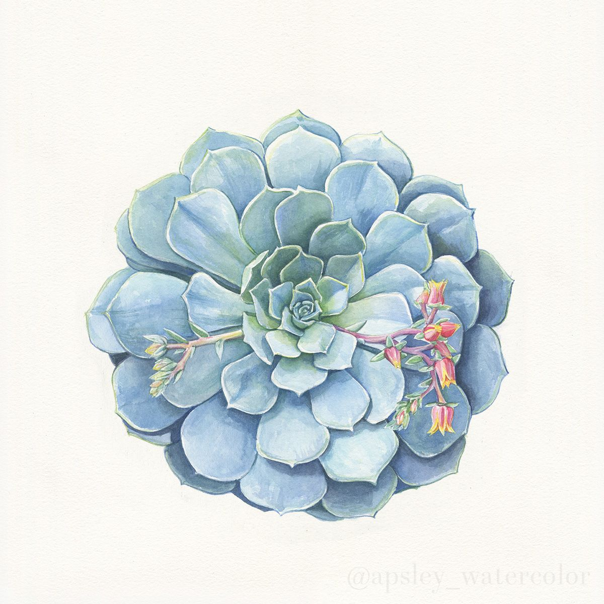 Watercolor Botanical Art New Echeveria Paintings On Behance