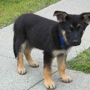 Tricks To Train A Black Lab Shepherd Mix German Shepard Puppies Shepherd Mix Puppies German Shepherd Lab Mix