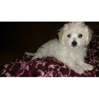 Beautiful Baby Boy Bichon Frise Where Wolves Rescue Glendale