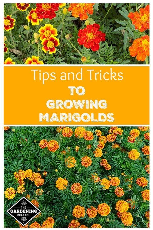 Grow Marigolds in your flower garden with these gardening tips. Also ...