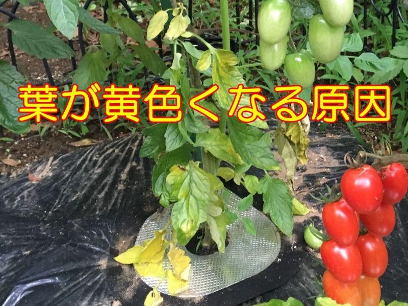 ミニトマト葉が黄色くなる6つの原因と対処方法 2020 家庭菜園