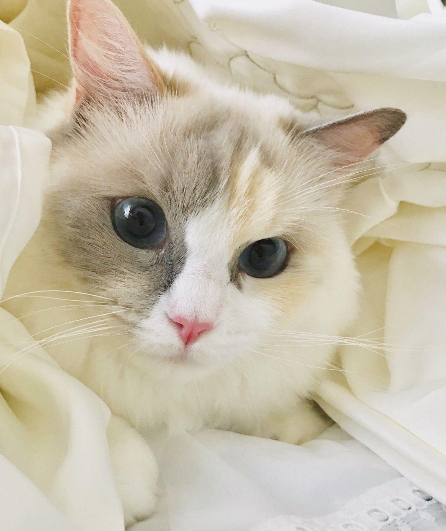 お布団の中から、ぴょこん♪  ------------------ 【今日のねこちゃん】より  投稿者: ラピまま ラピス♀ / 2歳 / ラグドール ------------------ #猫好きさんとつながりたい #猫 #ねこ #子猫 #ねこ部 #にゃんすたぐらむ #にゃんこ #にゃんだふるライフ #ふわもこ部 #ネコ #ねこのいる生活 #kitty #catstagram #catstagram_japan #petstagram #instacat #meow #catoftheday #ilovemycat