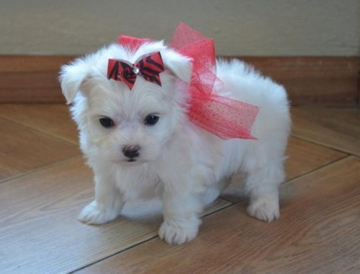 Teacup Maltese puppy Malteser