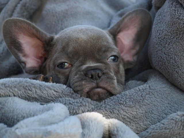 French Bulldog Puppies For Sale In California Frenchie Pups Calvin