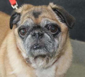 Adopt Tahsa On Pug Rescue Dog Love Pugs