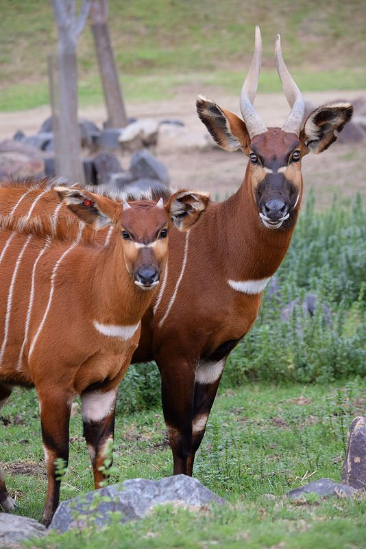 Bongo Buddies Ungulates Need Love Too Pinterest African