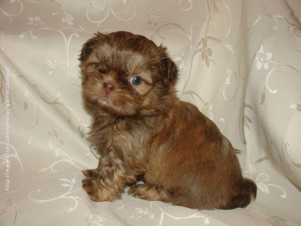 Pics For Gt Shih Tzu Puppies Brown Shih Tzu Puppy Shih Tzu