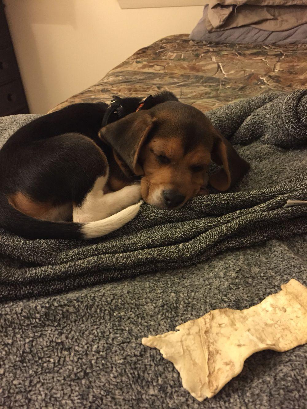 cute sleepy beagle puppy | love beagles | pinterest | beagle, dog
