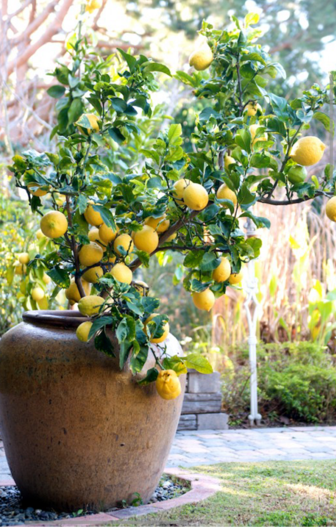 Pin By Elizabeth Ruiz Diaz On Naturaleza Fruit Trees In Containers How To Grow Lemon Potted Trees