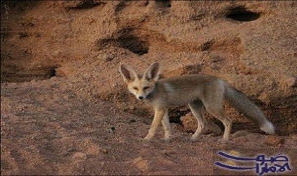 ثعلب روبل مهدد بالانقراض في الجزائر ثعلب روبل أو ثعلب الرمال من بين حيوانات الجزائر البرية وهو يتواجد بولاية النعامة و هو مصنف ضمن Animals Kangaroo