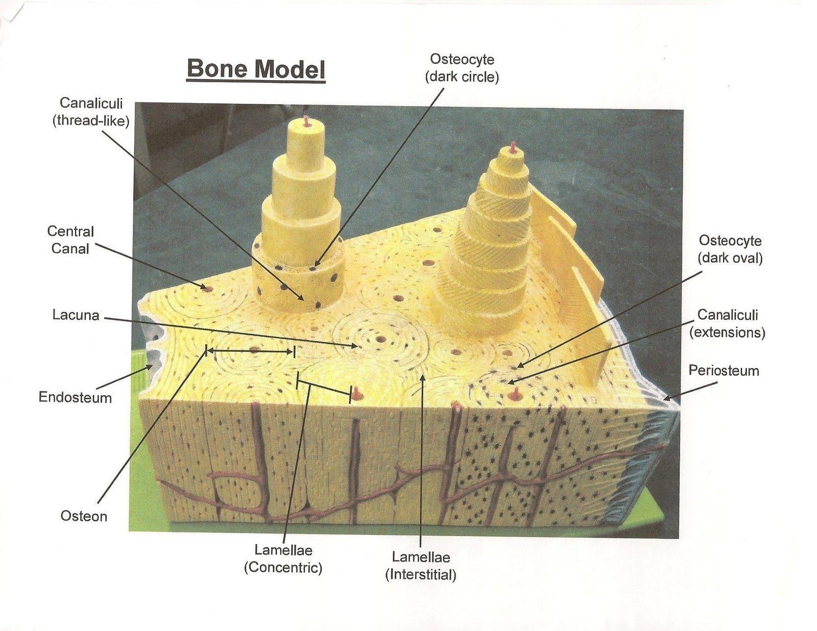 Compact Bone Diagram Human Anatomy Drawing Cell Model Human