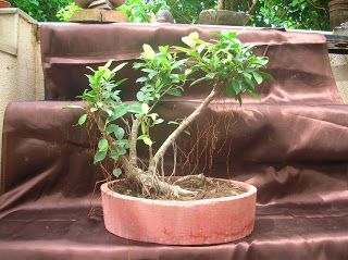 Different types of bonsai tree plants available for sale in ahmedabad, choose and buy bonsai plants for birthday, corporate gift, live gift, for design your home and office indoor and outdoor garden.