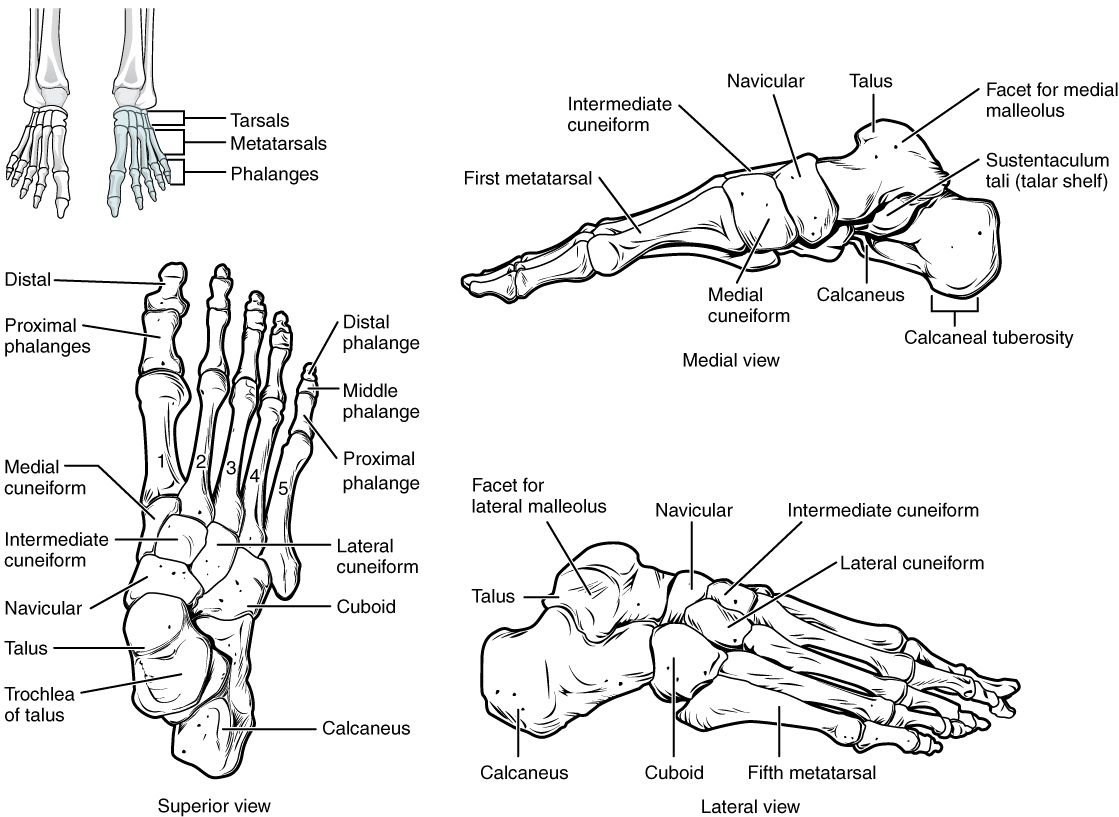 Bones Of The Lower Limb Anatomy And Physiology In 2020 Anatomy
