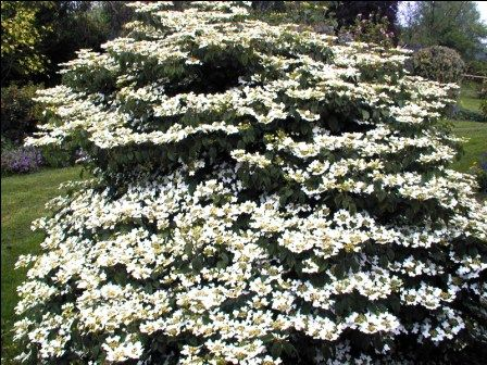 Viburnum plic nanum semperflorens one of the few hardy for Hardy flowering trees