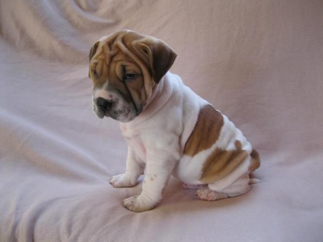 This May Be Our Next Pup Love Beagle Puppy Kittens And