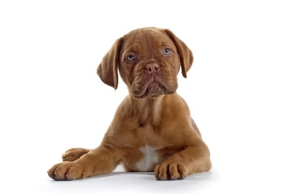 Bordeaux Dog French Mastiff Puppy This Is What My Bruno Baby Looked Like