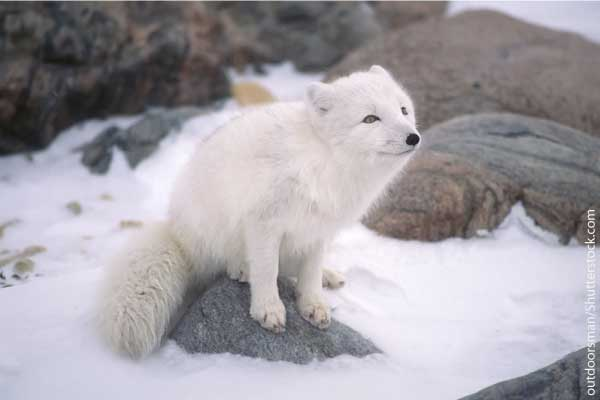 Arctic Fox Facts & Information For Kids. Habitat