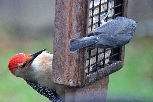 Indiana Backyard Birds   Backyard Birds