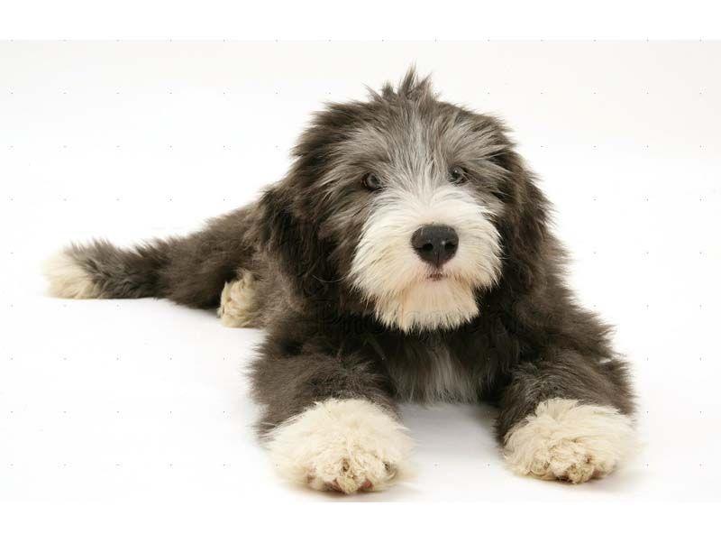 Bearded Collie Czyli Pies Robiący Wrażenie