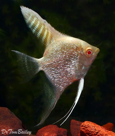 Pearlscale Albino Angelfish For Sale Angel Fish Angel Fish Tank Aquarium Fish