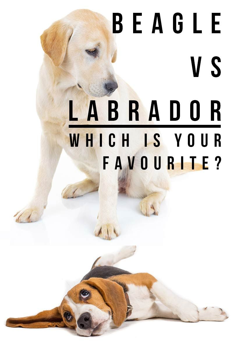 Beagle Vs Labrador Dog Breeds Beagle Puppy