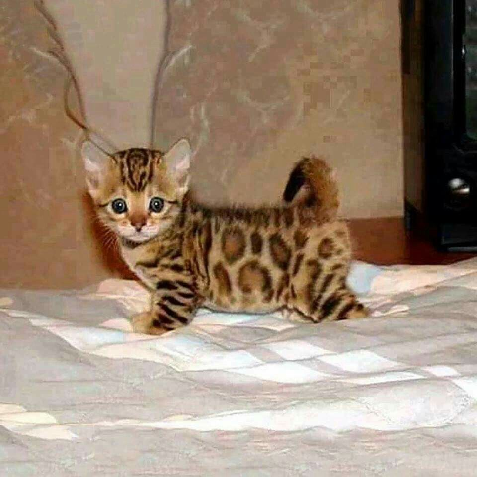 Bengal kitten cuteness | Random cute things | Pinterest | Bengal ...