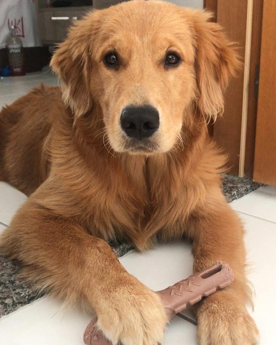 Beautiful Golden Goldenretrieversaremagical Retriever Golden Retriever Dogs