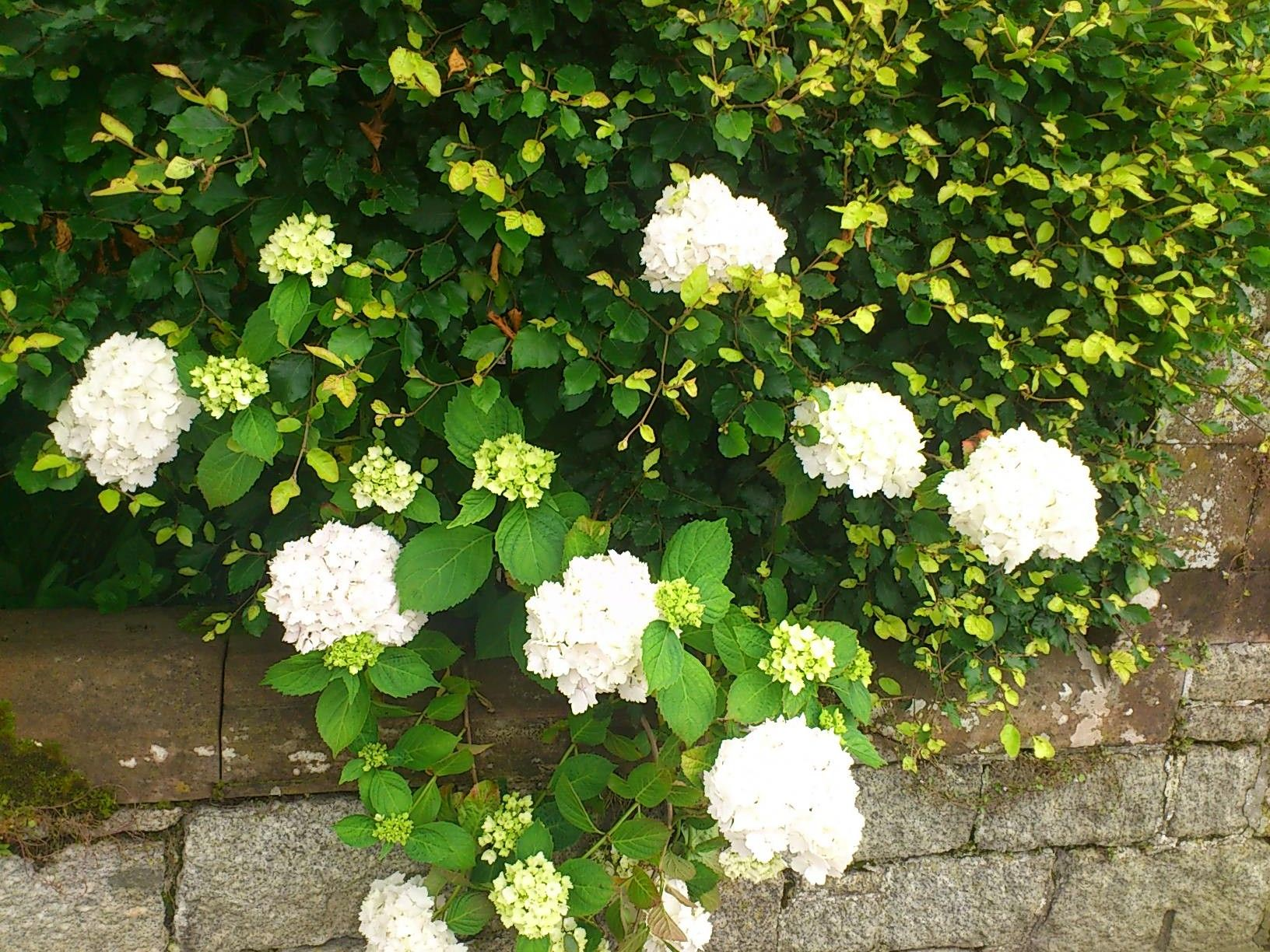 Hydragenia, Hortensias. in Ravenglass, UK