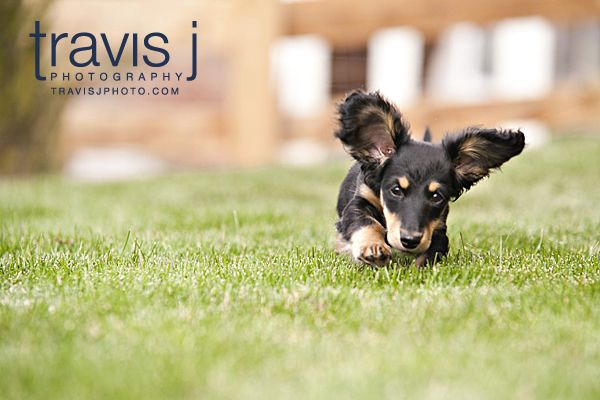 Our Miniature Long Haired Dachshund Leo Travis J Photography