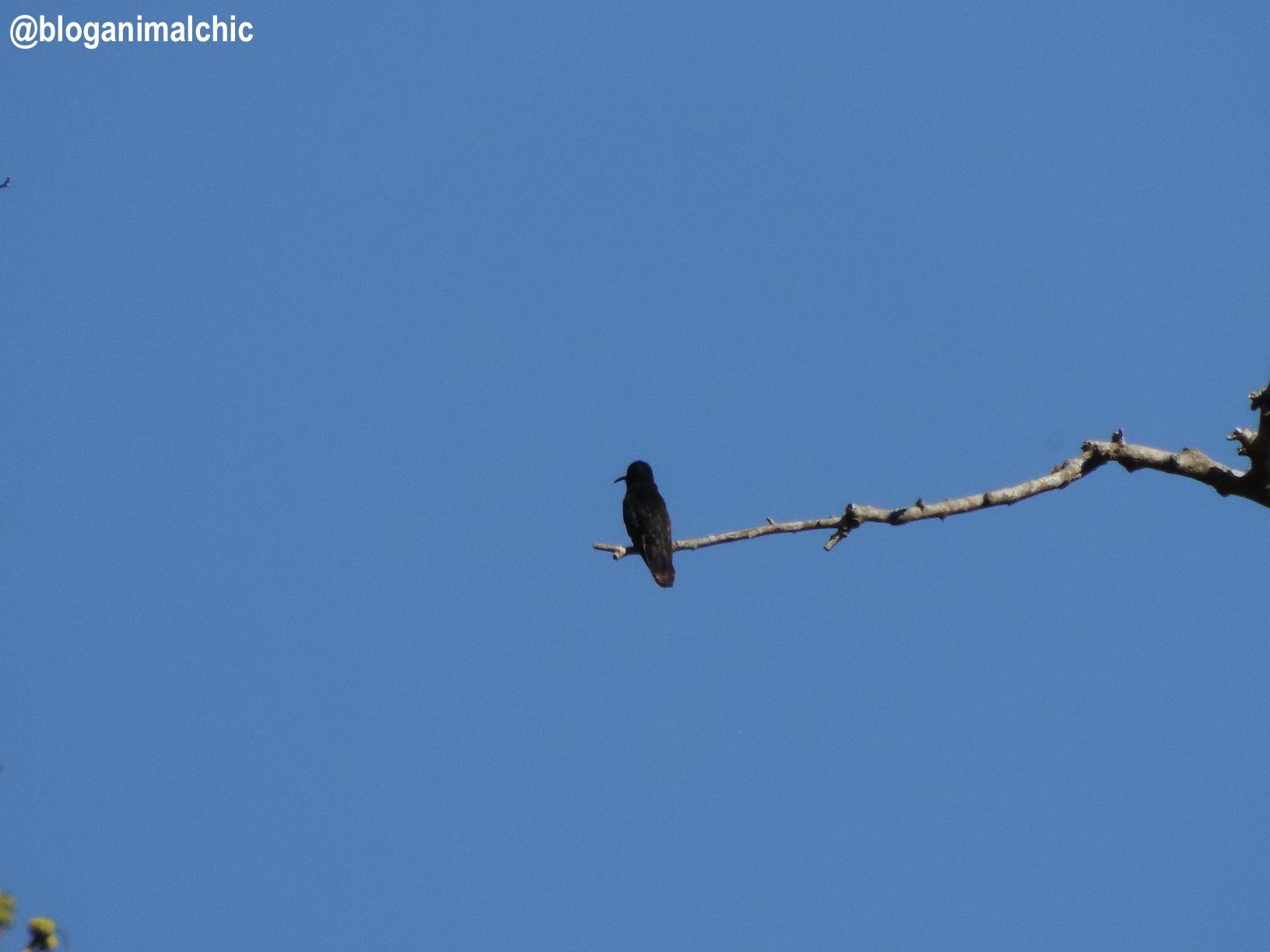 Beija-flor-preto (Florisuga fusca) fotografado na Fazenda Montanhas do Japi, em Jundiaí/SP. Registro de Janeiro/14.