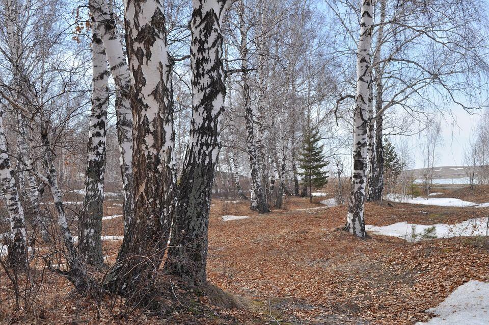 Природа, Снег, Деревья, Леса, Берёза, Пейзаж | Природа ...