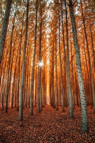 Photographic Print: Lost In Trees, Autumn in Northern Oregon by Vincent James : 24x16in