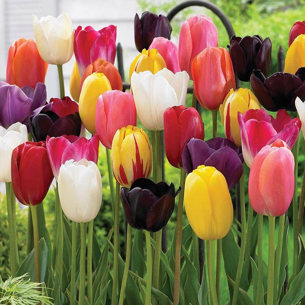 Tulip Everlasting Mixed Tulipa Tulips Flowers Planting Tulips Tulips