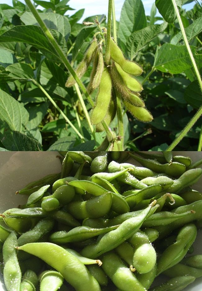Discover How To Grow And Enjoy Edamame Green Juvenile Soybean